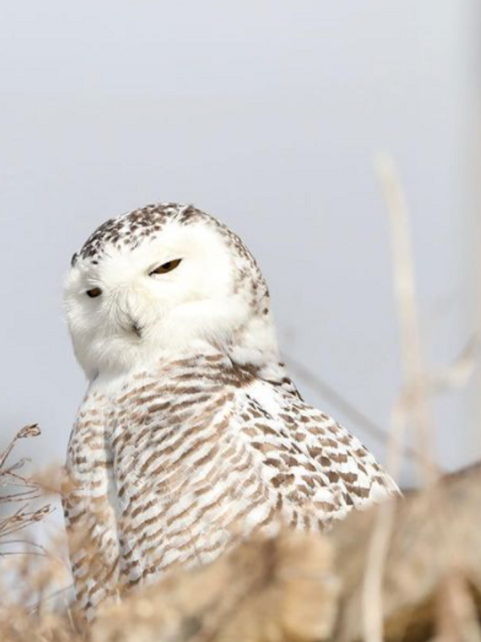Awestruck Majestic Snowy Owl Watches Over Guests At Pennsylvania Ski Resort Whp